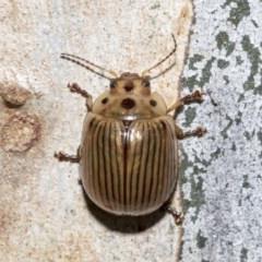 Paropsisterna intacta (Eucalyptus Leaf Beetle) at Nicholls, ACT - 6 Mar 2019 by Alison Milton
