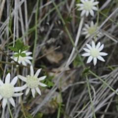 Actinotus minor (Lesser Flannel Flower) at South Pacific Heathland Reserve - 18 Nov 2014 by NicholasdeJong