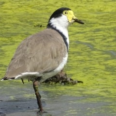 Vanellus miles (Masked Lapwing) at Jerrabomberra Wetlands - 8 Mar 2019 by roymcd