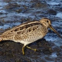 Gallinago hardwickii (Latham's Snipe) at Jerrabomberra Wetlands - 28 Feb 2019 by roymcd