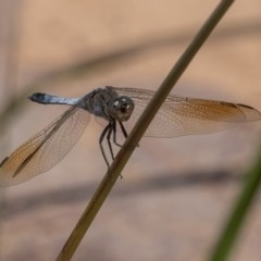 Orthetrum caledonicum (Blue Skimmer) at Coombs Ponds - 3 Mar 2019 by rawshorty