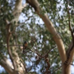Rhipidura albiscapa at Red Hill Nature Reserve - 8 Mar 2019