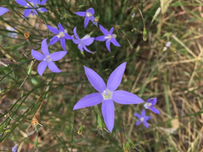 Wahlenbergia sp. at Deakin, ACT - 11 Mar 2019