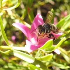 Megachile (Eutricharaea) maculariformis (Leafcutter bee, Megachilid bee) at ANBG - 7 Mar 2019 by HelenCross