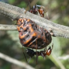 Iridomyrmex purpureus (Meat Ant) at Paddys River, ACT - 10 Mar 2019 by HarveyPerkins