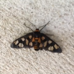 Amata sp. (genus) (A Tiger moth) at FS Private Property - 9 Mar 2019 by Stewart