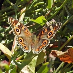 Junonia villida (Meadow Argus) at Jerrabomberra Wetlands - 10 Mar 2019 by RodDeb