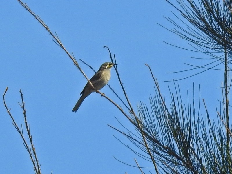 Caligavis chrysops at Jerrabomberra Wetlands - 10 Mar 2019
