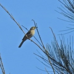 Caligavis chrysops (Yellow-faced Honeyeater) at Jerrabomberra Wetlands - 10 Mar 2019 by RodDeb