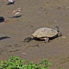 Chelodina longicollis (Eastern Long-neck Turtle) at Jerrabomberra Wetlands - 9 Mar 2019 by RodDeb