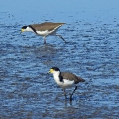 Vanellus miles (Masked Lapwing) at Jerrabomberra Wetlands - 10 Mar 2019 by RodDeb