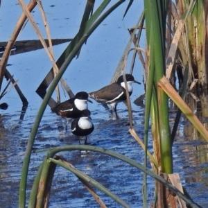 Erythrogonys cinctus at Jerrabomberra Wetlands - 10 Mar 2019