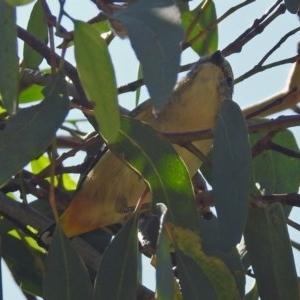 Pardalotus punctatus at Jerrabomberra Wetlands - 10 Mar 2019