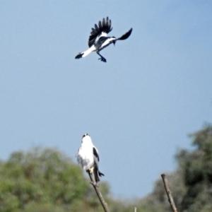 Elanus axillaris at Jerrabomberra Wetlands - 10 Mar 2019