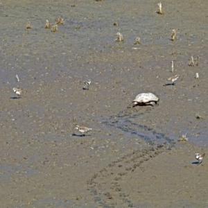 Elseyornis melanops at Jerrabomberra Wetlands - 10 Mar 2019