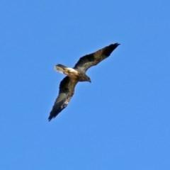 Haliastur sphenurus (Whistling Kite) at Jerrabomberra Wetlands - 10 Mar 2019 by RodDeb