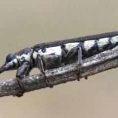 Rhinotia sparsa (A belid weevil) at Ainslie, ACT - 1 Feb 2019 by jbromilow50