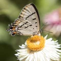 Jalmenus evagoras (Imperial Hairstreak) at ANBG - 19 Feb 2019 by AlisonMilton