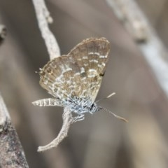 Theclinesthes serpentata (Saltbush Blue) at Hawker, ACT - 10 Mar 2019 by Alison Milton