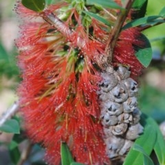 Melaleuca hypericifolia (Hillock Bush) at South Pacific Heathland Reserve - 15 Oct 2014 by NicholasdeJong