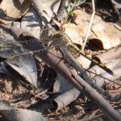 Hemicordulia tau (Tau Emerald) at Red Hill Nature Reserve - 11 Mar 2019 by JackyF