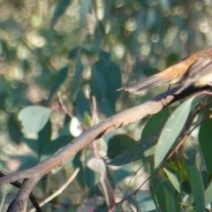 Rhipidura rufifrons (Rufous Fantail) at Red Hill Nature Reserve - 11 Mar 2019 by JackyF
