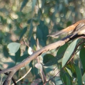Rhipidura rufifrons at Red Hill Nature Reserve - 11 Mar 2019