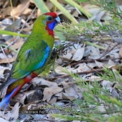 Platycercus elegans (Crimson Rosella) at One Track For All - 17 Feb 2019 by CharlesDove