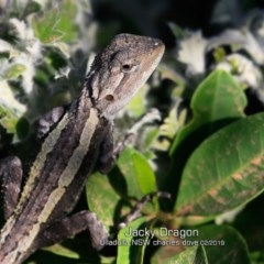 Amphibolurus muricatus (Jacky Lizard) at South Pacific Heathland Reserve - 18 Feb 2019 by Charles Dove