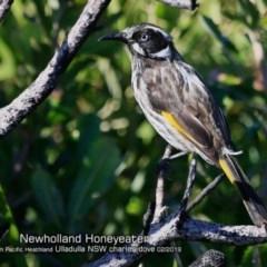 Phylidonyris novaehollandiae (New Holland Honeyeater) at South Pacific Heathland Reserve - 18 Feb 2019 by CharlesDove