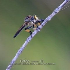 Ommatius sp. (Common Yellow Robber Fly) at One Track For All - 18 Feb 2019 by Charles Dove