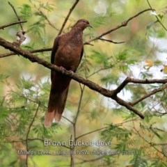 Macropygia (Macropygia) amboinensis (Brown Cuckoo-dove) at Ulladulla - Millards Creek - 10 Mar 2019 by Charles Dove