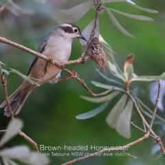 Melithreptus (Eidopsarus) brevirostris (Brown-headed Honeyeater) at Lake Tabourie Bushcare - 6 Mar 2019 by Charles Dove