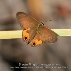 Hypocysta metirius (Brown Ringlet) at South Pacific Heathland Reserve - 5 Mar 2019 by Charles Dove