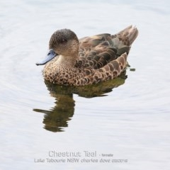 Anas castanea (Chestnut Teal) at Tabourie Lake Walking Track - 6 Mar 2019 by CharlesDove