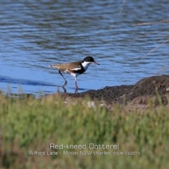 Erythrogonys cinctus (Red-kneed Dotterel) at Milton, NSW - 10 Mar 2019 by Charles Dove