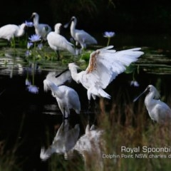 Platalea regia (Royal Spoonbill) at Wairo Beach and Dolphin Point - 5 Mar 2019 by Charles Dove