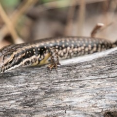 Eulamprus heatwolei (Yellow-bellied Water-skink) at Bimberi Nature Reserve - 9 Mar 2019 by SWishart