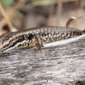 Eulamprus heatwolei at Bimberi Nature Reserve - 9 Mar 2019