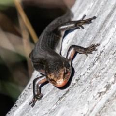 Pseudemoia entrecasteauxii (Woodland Tussock-skink) at Namadgi National Park - 9 Mar 2019 by SWishart