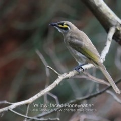 Caligavis chrysops (Yellow-faced Honeyeater) at Tabourie Lake Walking Track - 6 Mar 2019 by Charles Dove