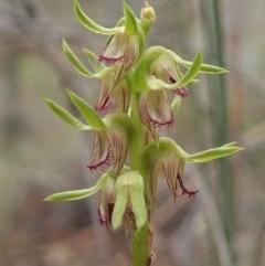 Corunastylis cornuta (Horned midge orchid) at Aranda Bushland - 12 Mar 2019 by CathB