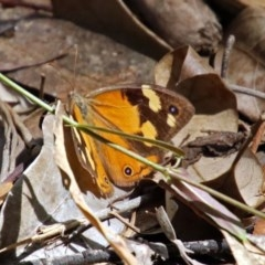 Heteronympha merope (Common Brown) at ANBG - 12 Mar 2019 by RodDeb