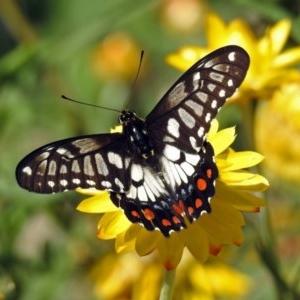 Papilio anactus at ANBG - 12 Mar 2019