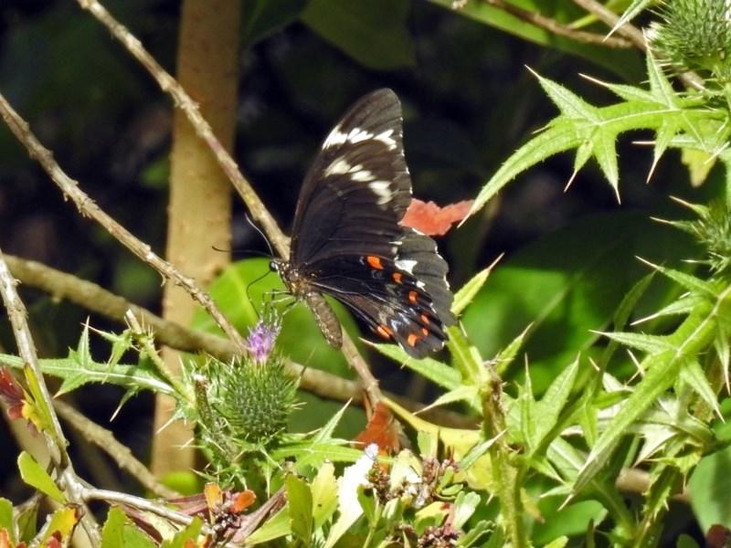 Papilio aegeus at Acton, ACT - 12 Mar 2019