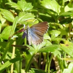 Theclinesthes serpentata (Saltbush Blue) at ANBG - 12 Mar 2019 by RodDeb