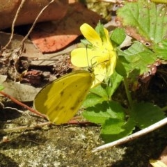 Eurema smilax (Small grass-yellow) at ANBG - 12 Mar 2019 by RodDeb