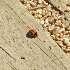 Coccinella transversalis (Transverse Ladybird) at ANBG - 12 Mar 2019 by RodDeb