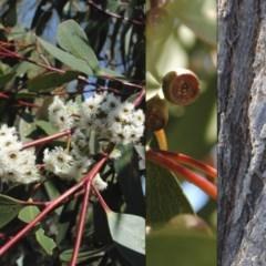 Eucalyptus sieberi (Silvertop Ash) at South Pacific Heathland Reserve - 9 Oct 2015 by NicholasdeJong