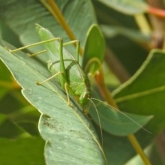 Caedicia simplex (Common Garden Katydid) at ANBG - 12 Mar 2019 by RodDeb
